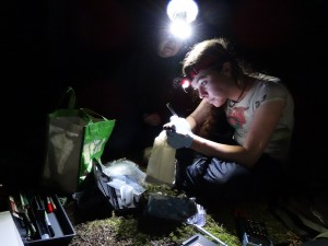 Rochelle Kelly collects DNA samples from a bat before she releases it.