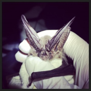 One species that Kelly is studying is Townsend's big-eared bat.